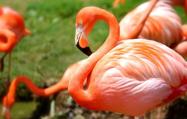 Interesting Facts about Flamingos in Kenya, Did-you-know Facts